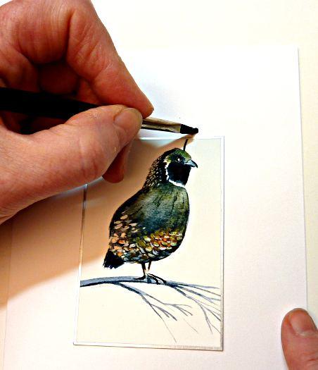 california quail image
